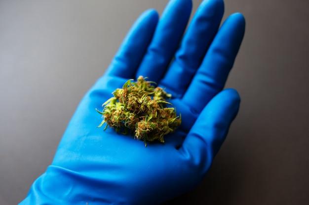 Bourgeons de cannabis dans la main du médecin avec un gant bleu