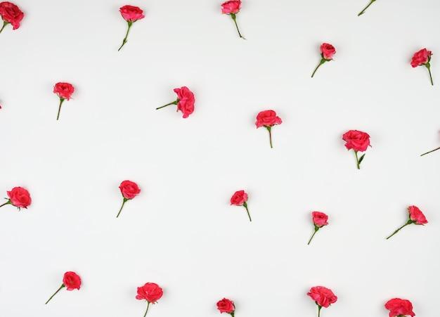 Bourgeons en fleurs de roses roses sur blanc