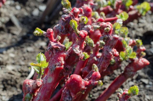 Bourgeons de greffes de vignes de pépinière.