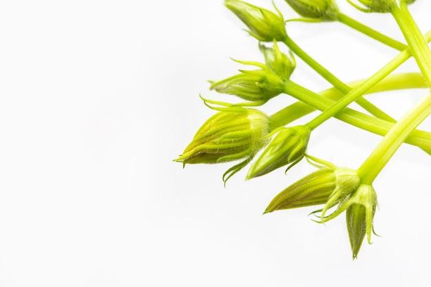 Bourgeons non ouverts de fleurs de citrouille courgettes sur fond blanc. les bourgeons en excès de fleurs stériles sont retirés des plantes pour une meilleure fructification