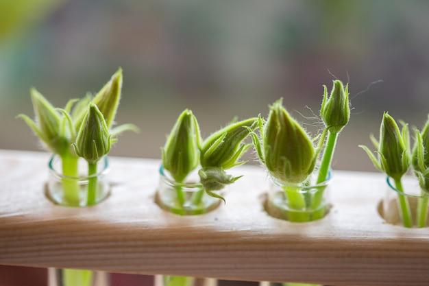 Bourgeons non ouverts de fleurs de courgettes dans des tubes à essai avec de l'eau. les bourgeons en excès de fleurs stériles sont retirés des plantes pour une meilleure fructification