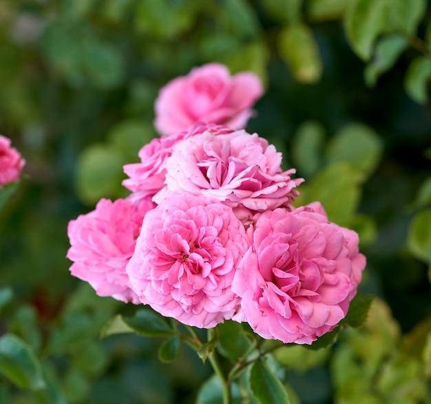 Bourgeons de roses en fleurs roses dans le jardin, fond vert