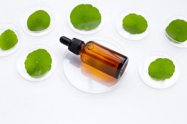 Bouteille d'huile de queue essen avec des feuilles de centella asiatica vertes fraîches dans des boîtes de pétri sur fond blanc.