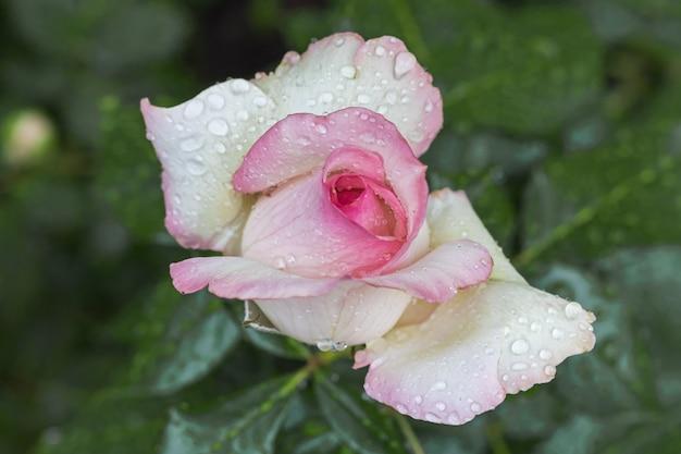 Un bouton de rose avec des gouttes d'eau après la pluie, couleur rose clair
