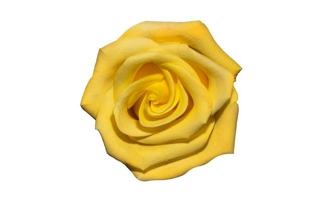 Bouton de rose jaune isolé sur fond blanc. vue d'en-haut