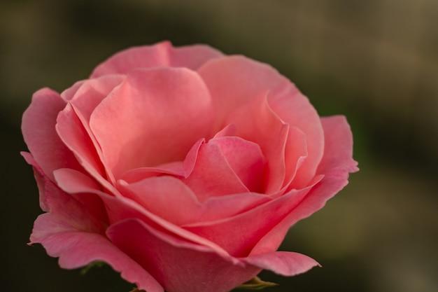 Bouton de rose rose délicat se bouchent dans le jardin