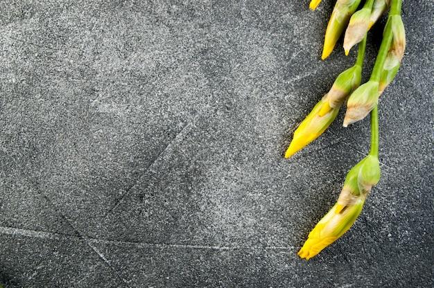 Boutons jaunes d'iris sur gris.