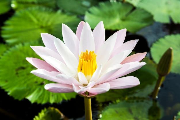 Les boutons de lotus jaunes et roses et fleurissent magnifiquement