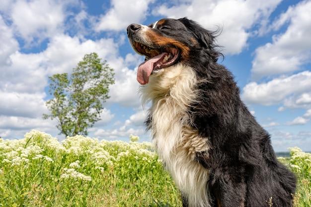 Bouvier bernois assis sur une herbe verte, langue dehors, ciel bleu, nuages