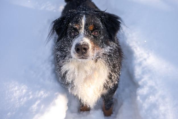 Bouvier bernois couvert de neige couché dans les grandes dérives de neige