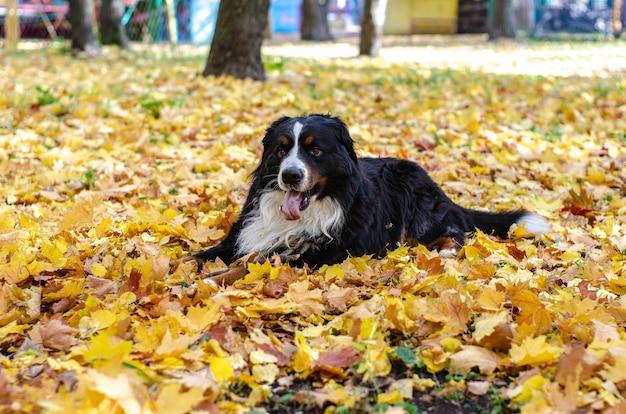 Bouvier bernois avec des feuilles d'automne jaunes et rouges. sourire tête de chien