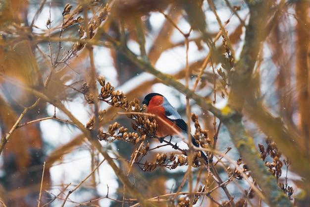 Bouvreuil à poitrine rouge sur un arbuste avec des graines