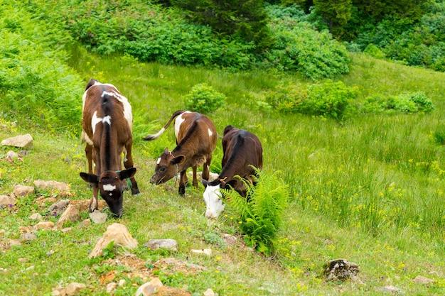 Bovins sur un champ highland rize turquie