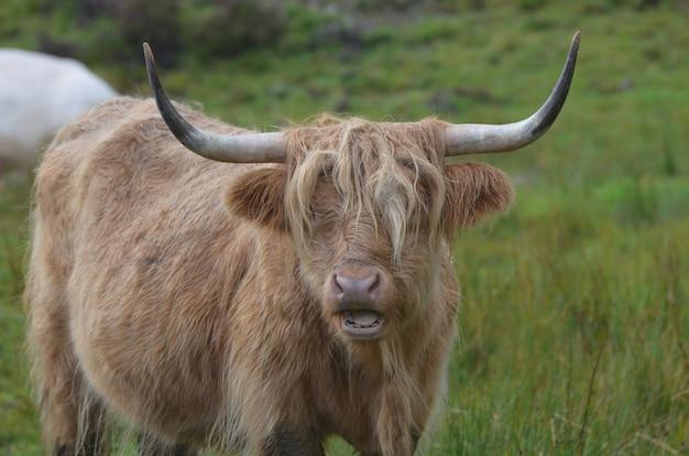 Bovins highland avec sa bouche ouverte.