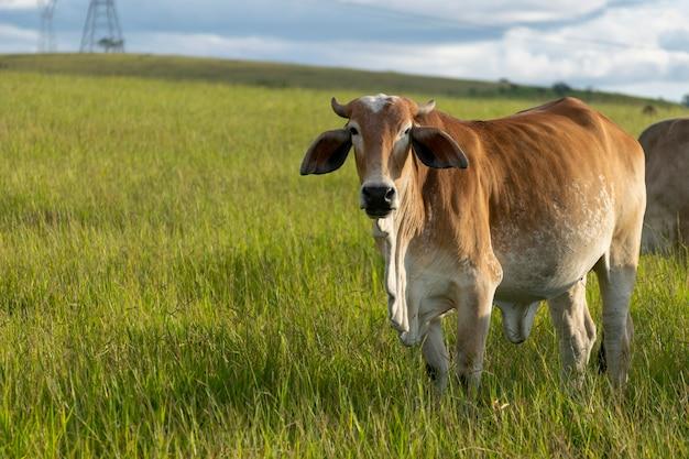 Bovins nelore bruns dans les pâturages de la ferme
