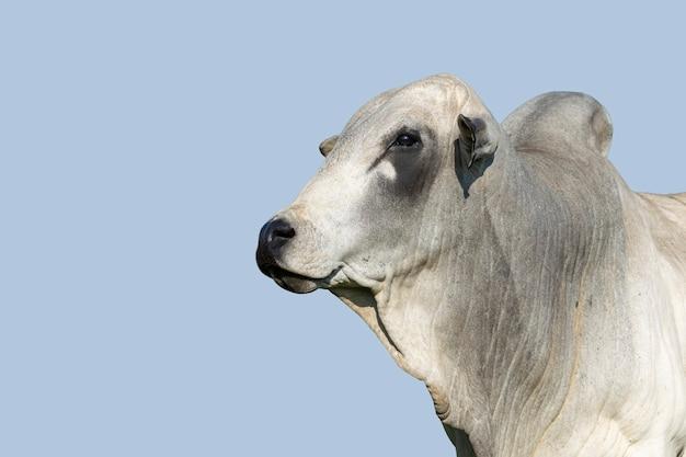 Bovins nelore sur fond de ciel bleu. notion de bétail. bovins à l'engraissement. espace pour le texte.
