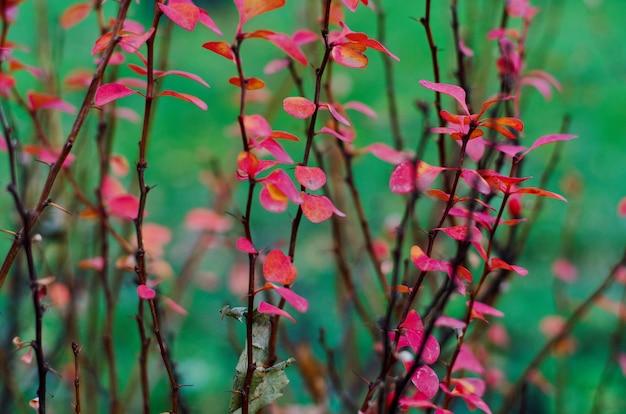 Brahches et brindilles d'épine-vinette rouge foncé, fin de l'automne