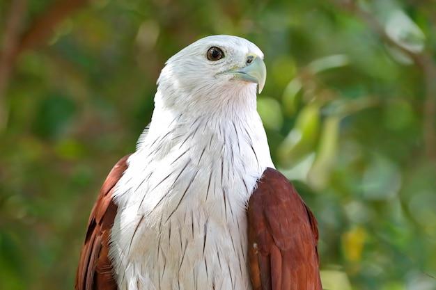 Brahminy kite haliastur indus beaux oiseaux de thaïlande