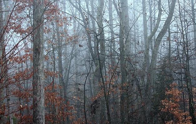 Bramble arbres d'hiver en dormance brouillard brume forêt