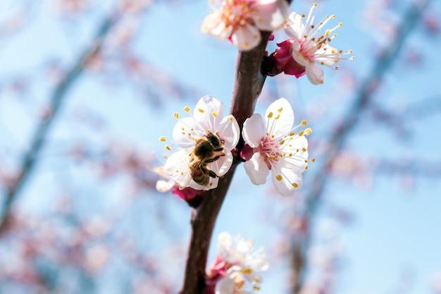 Branche d'abricot à floraison printanière