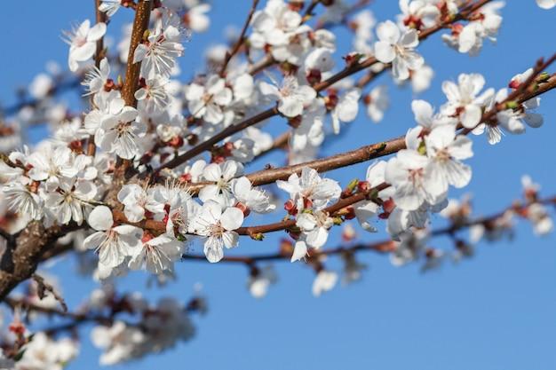 Branche d'abricotier en fleurs sur fond de ciel bleu flou. mise au point sélective