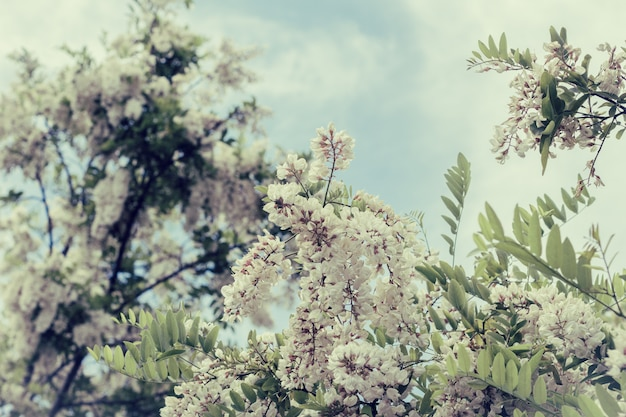 Branche d'acacia blanc en fleurs