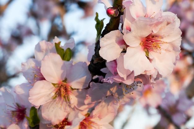 Branche d'amande en fleur