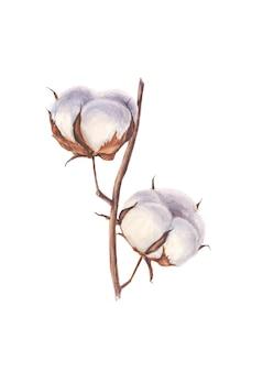 Branche aquarelle de coton sur fond blanc