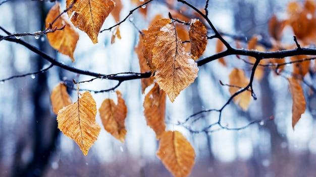Branche d'arbre aux feuilles fanées en hiver pendant le dégel ou à la fin de l'automne par temps humide