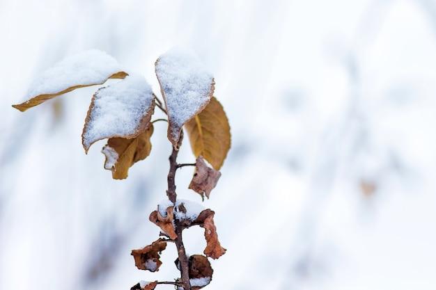 Une branche d'arbre aux feuilles d'oranger sèches, recouverte de neige, sur fond clair. journée d'hiver dans le jardin_