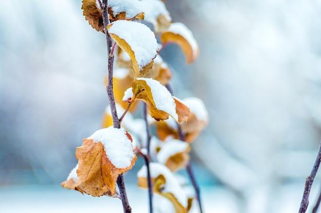 Branche d'arbre aux feuilles d'oranger sèches, recouverte de neige. journée d'hiver dans le jardin_