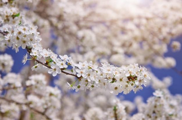 Branche d'arbre blanc de printemps. composition naturelle.