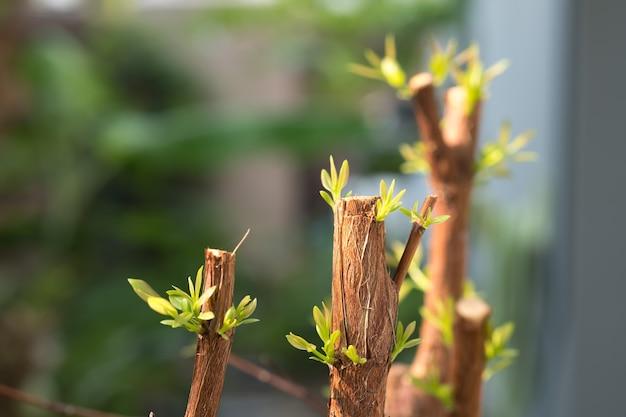 Branche d'arbre avec le bourgeon, le vert embryonnaire laisse la pousse
