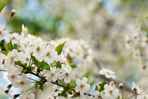 Branche de l'arbre de la cerise contre l'arrière-plan flou