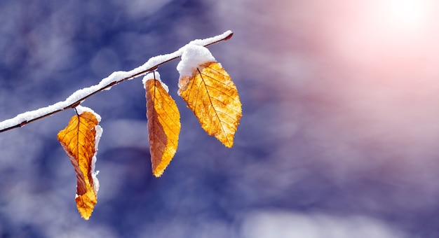 Branche d'arbre couverte de neige avec des feuilles sèches dans le jardin sur un arrière-plan flou par temps ensoleillé
