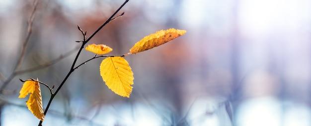 Branche d'arbre avec les dernières feuilles jaunes sur un arrière-plan flou dans la forêt lorsque la première neige est tombée