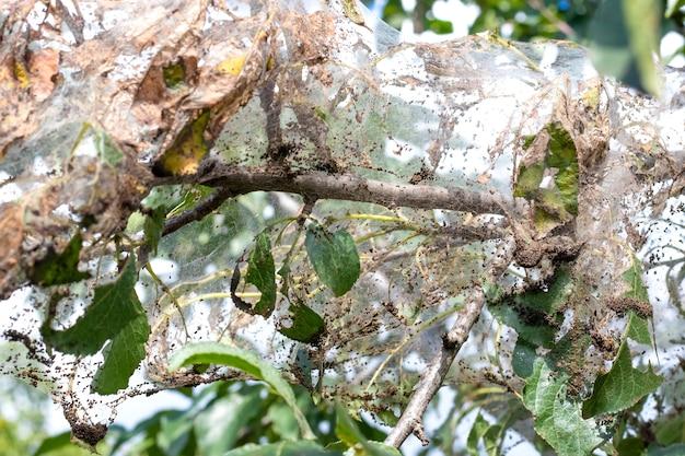 La branche de l'arbre est densément recouverte de toiles d'araignées, dans lesquelles les larves d'un papillon blanc. l'arbre est affecté par les toiles d'araignée