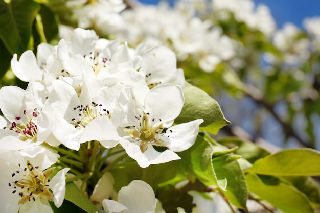 Branche d'arbre avec des fleurs épanouies, gros plan