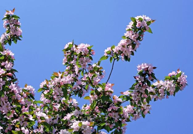 Branche d'arbre en fleurs avec des fleurs roses sur fond de ciel bleu