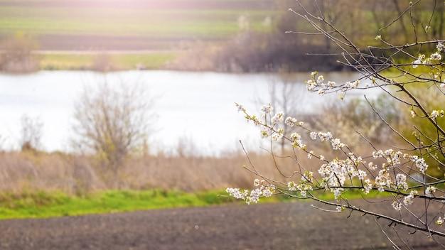 Branche d'arbre en fleurs sur la rive de la rivière