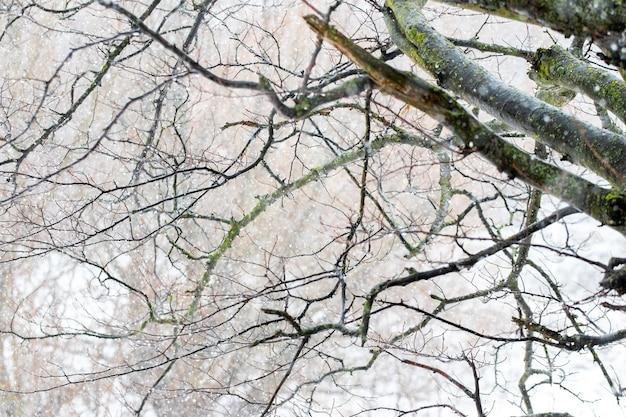 Branche d'arbre avec des gouttes de pluie dans la forêt d'hiver pendant le dégel