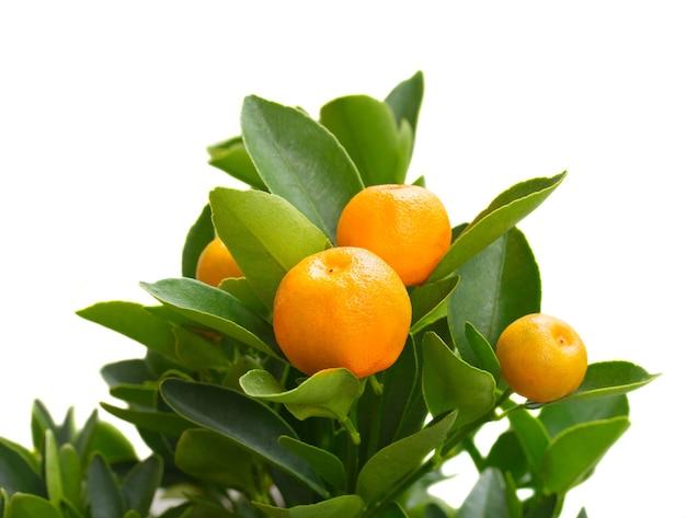 Branche d'arbre mandarine isolé sur mur blanc