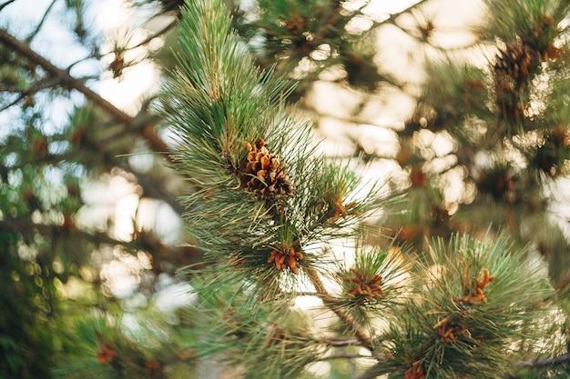 Branche d'arbre de pin avec des cônes et des aiguilles vertes