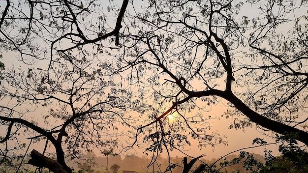 Branche d'arbre saman de samanea le matin sur le fond du soleil se lève