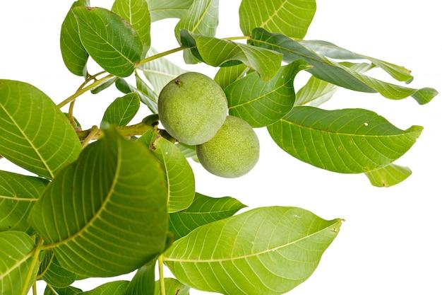 Branche d'arbre vert fruits noix isolé sur un blanc