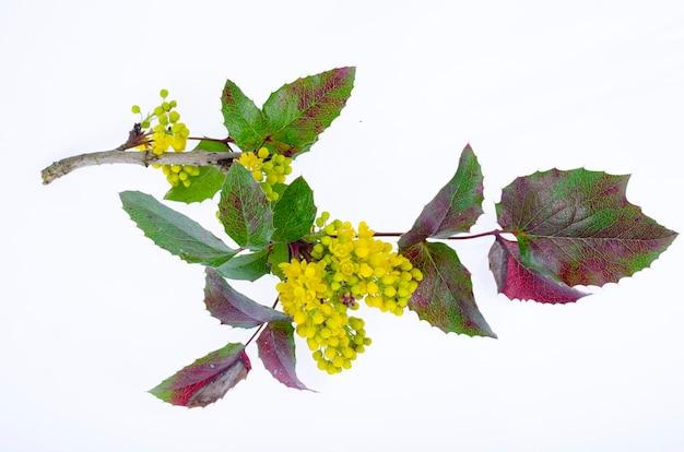 Branche d'arbuste de jardin d'ornement à fleurs jaunes mahonia aquifolia studio photo