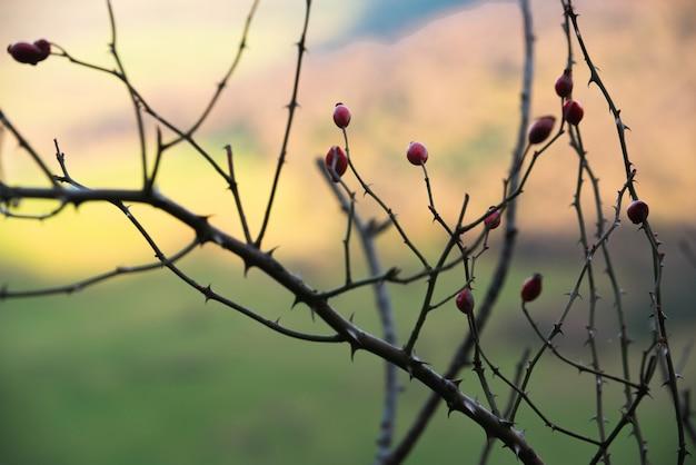 Branche d'aubépine aux fruits rouges