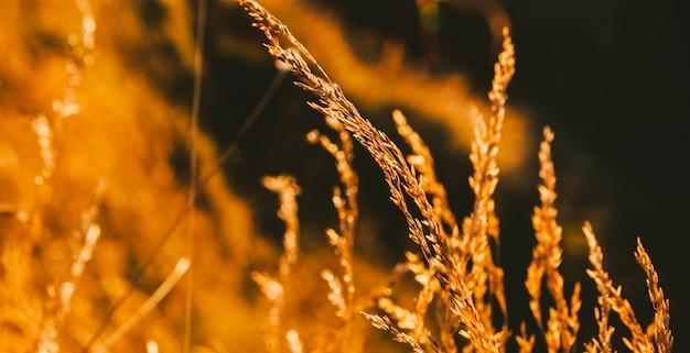 Branche d'avoine au soleil d'or.