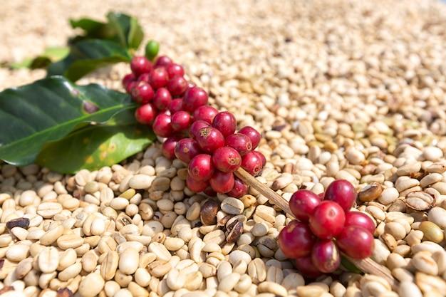 Branche de baies de café arabica, secteur de l'agriculture et de l'économie