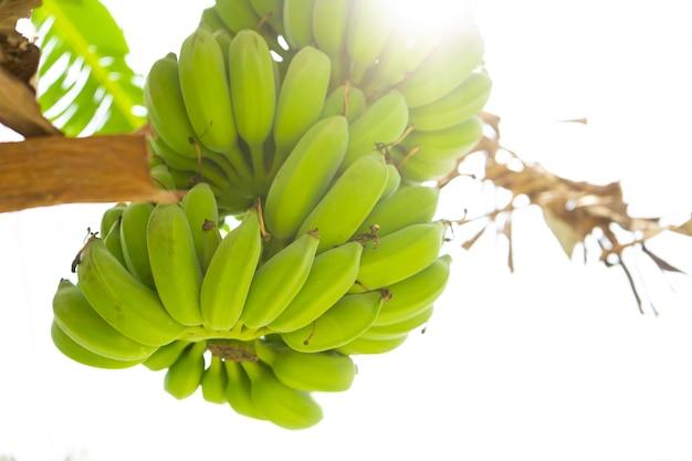 Branche de banane. les bananes vertes pendent sur un arbre